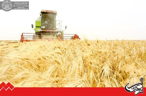 .Harvesting 250 acres of wheat crop in the farm of Fadk of Imam Ali(AS) Holy Shrine